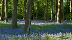 Bluebells  (Explored) (Lesley-Anne Murray) Tags: blue bluebells scotland spring nikon bbcspringwatch nikond90 dalkeithcountryestate lesleyannemurray