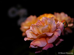 Manyo (Shiori Hosomi) Tags: flowers plants rose japan night tokyo nocturnal nightshot may rosa    rosales 2016  rosaceae    noctuary   flowersinthenight noctivagant 23