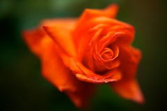 dirty rose (Marti Thinkso) Tags: closeuplens minoltalens 50mmf17af filterattachment