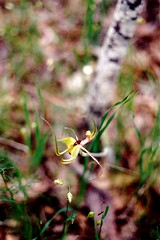 Caladenia Spinnenorchidee Spider orchid (Spiranthes2013) Tags: plant orchid nature natur pflanze australia australien 1994 orchidee hermann hermannb