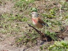 Linnet (M) at Embleton Bay  P1250336 (ianpreston) Tags: birds northumberland bamburgh eastcoast linnet 2016 embletonbay bamburghcastle