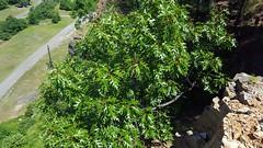 Querucs aff. shumardii (Eric Hunt.) Tags: green leaf oak quercus redoak fagaceae