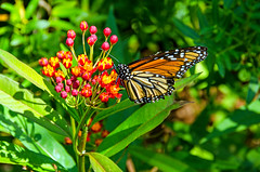Monarch Butterfly Feeds on Tropical Milkweed  DSC_0165_edited-1 (John Dreyer) Tags: copyright john j monarchbutterfly 2016 dreyer