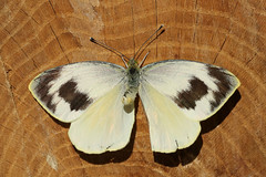 Canary Islands Large White  Pieris cheiranthi (Roger Wasley) Tags: butterfly butterflies endemic canaryislands largewhite pieridae pierscheiranthi