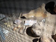 Inner Space Cavern bones (pr0digie) Tags: iceage underground fossil texas georgetown caves bones limestone cave jaguar karst cavern sinkholes innerspace formations direwolf
