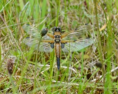 First spot of the season (Grumpys Gallery) Tags: nature dragonflies wildlife fourspottedchaser