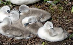 Airthrey Campus (25) (lairig4) Tags: scotland stirling bridgeofallan university campus airthrey cygnets swans loch