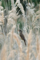 Great Reed Warbler (angus molyneux) Tags: cambs littlepaxton rarity greatreedwarbler