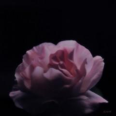 transparence.... (sophie.lamidiaux) Tags: fleur clair obscur nature rose ptale lumire fond noir
