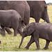 Elephants in the Maasai Mara in Kenia ........