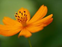Orange (dayonkaede) Tags: macro olympus cosmos f28 m60mm