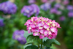(yiming1218) Tags: red plant flower nature gm bokeh sony hydrangea fe  f28 2470mm gmaster  macrophylla   a7rii a7r2 a7rm2 ilce7rm2 sel2470gm