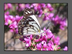 Gulls,Jezebels & Albatrosses (Douglas Dew butterflies) Tags: caper white belenois java