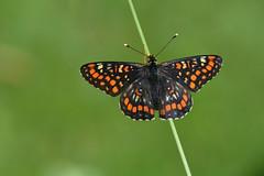 D71_0477A (vkalivoda) Tags: motýl butterfly schmetterling insect macro depthoffield bokeh serene makro hnědásek hnědásekosikový euphydryasmaturna hnedáčikosikový scarcefritillary kleinermaivogel askepletvinge suurmosaiikliblikas damierdufrene malasvibanjskariđa baltamargešaškyte díszestarkalepke praktrutevinge przeplatkamaturna gozdnipostavnež maturna kirjoverkkoperhonen asknätfjäril