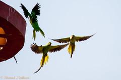 IMG_7087L4 (Sharad Medhavi) Tags: bird canoneod50d birdsandbeesoflakeshorehomes