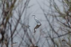 Aigrette (Fab AVA) Tags: birds nikon oiseaux sauvages camargue 70300 aigrette f4556 d300s