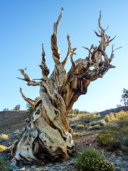 Bristlecone pine hanging on for dear life at 10,000 feet (Alaskan Dude) Tags: california travel landscape sierranevadas schulmangrove nationalmonuments bristleconepines bigpine ancientbristleconepineforest