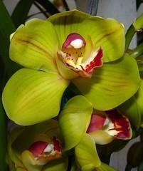 Cymbidium (Mighty Mouse 4N x Tethys 'CT' 4N) orchid hybrid (nolehace) Tags: sanfrancisco orchid flower mouse spring ct carrot bloom hybrid mighty cymbidium 412 tethys 4n nolehace fz35