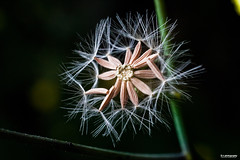 [explore] [macro] dandelion (pooldodo) Tags: plant macro nature 28mm seed dandelion 植物 生態 蒲公英 f35 微距 種子 倒接 超微距 pooldodo