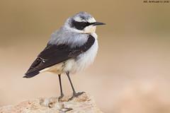 Northern Wheatear (arfromqatar) Tags: doha qatar birdsofqatar  arfromqatar  canonmarkiv