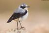 Northern Wheatear (arfromqatar) Tags: doha qatar birdsofqatar عبدالرحمنالخليفي arfromqatar طيورقطر canonmarkiv طيورمنقطر