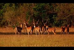 Bambaragasthalawa (Sara-D) Tags: nature animals forest nationalpark asia wildlife deer sl sri lanka spotted srilanka ceylon lk axis wildanimals southasia sarad spotteddeer saranga kumana sarangadevadealwis kumananationalpark sarangadeva bambaragasthalawa