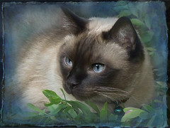 Jazz and Blues (original photo by gabbcan) (martisimas) Tags: blue texture cat eyes gabby jazz siamese coth fantasticnature kissablekat bestofcats catmoments coth5 gabbcan