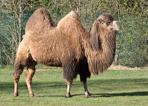 Chester Zoo: Bactrian Camel | adam w | Flickr