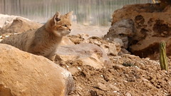 Chat des sables (pimousse18) Tags: wild france cat sand chat sable gato felin sauvage seineetmarne nesles chatdessables parcdesfelins
