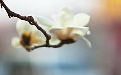 Grave Sweeping Day (Jonathan Kos-Read) Tags: china flower bokeh crossprocess beijing outoffocus   filmgrain oof goldenratio flowermacro nikond700