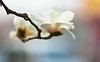 Grave Sweeping Day (Jonathan Kos-Read) Tags: china flower bokeh crossprocess beijing outoffocus 北京 中国 filmgrain oof goldenratio flowermacro nikond700