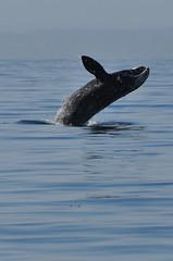 Breaching juvenile gray whale