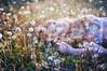 (yyellowbird) Tags: flowers selfportrait girl field spring lolita cari dandelions