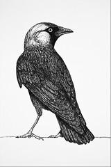 Dohle (Gret B.) Tags: bird ink paper drawing draw papier tinte vogel zeichnung skizze zeichnen dohle