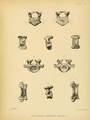 n354_w1150 (BioDivLibrary) Tags: dinocerata eocene mammalsfossil paleontology wyoming universityofconnecticutlibrariesarchiveorg bhl:page=26861980 dc:identifier=httpbiodiversitylibraryorgpage26861980 fossilstories artist:name=fberger taxonomy:binomial=dinocerasmirabile taxonomy:binomial=uintatheriumanceps taxonomy:order=dinocerata taxonomy:family=uintatheriidae othnielcharlesmarsh bonewars extinct skeleton anatomy bones herbivore cervicalvertebrae