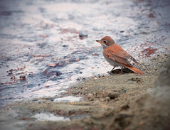 Brown Bird (Saleh Alnemari) Tags: bird bron saleh alnemari salehnemari