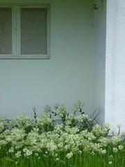 (EmilyStAubert) Tags: flowers white abandoned army weeds weed military basement faucet housing uni barracks cellar würzburg whiteflowers basementwindow cellarwindow usarmee hubland leightonbarracks campusnord whiteweed hoarycress pfeilkresse herzkresse