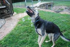 DSC_6395 (aerofan245) Tags: birthday party dog 3 shepherd sage german superhero batman batdog gsd