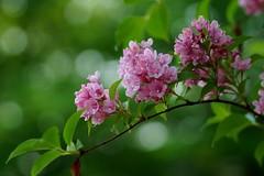() /Weigela hortensis (nobuflickr) Tags: japan river kyoto kamo weigelahortensis japaneseweigela  awesomeblossoms   kamogawakyotoshijapan 20120510sc01781 kamogawanatureplantflower