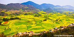 Valley of Rapeseed Flowers (Feng Wei Photography) Tags: china travel inspiration flower color colour tourism nature floral beautiful beauty yellow horizontal rural season relax landscape golden march countryside spring amazing scenery colorful asia paradise peace view outdoor vibrant rustic relaxing scenic vivid peaceful tranquility valley serenity vista serene winding agriculture yunnan curve inspire tranquil breathtaking magnificent rapeseed luoping rapeseedflower luositian gettychinaq2