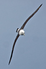 010011.2-IMG_1969 White-capped (Shy) Albatross (Thalassarche [cauta] steadi) (ajmatthehiddenhouse) Tags: bird 2012 steadi shyalbatross thalassarchecauta thalassarche cauta whitecappedalbatross thalassarchesteadi thalassarchecautasteadi wpo2012