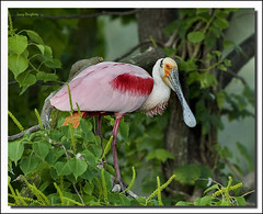 A south central Louisiana roseate spoonbill...D700 (Larry Daugherty) Tags: bird nature fly wings nikon feathers spoonbill roseatespoonbill wadingbird chinesetallowtree specanimal d700 saariysqualitypictures nikon500mmf4vr birdperfect southcentrallouisiana mygearandme nikon7xtc