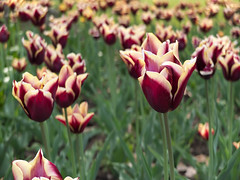 A field of tulips @ High Park, Toronto (edcPhoto) Tags: park toronto ontario canada flower nature photography photo highpark tulips may pic fujifilm botany 2012 naturephotography x10