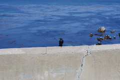 Bird on wall at Lovers Point Beach (Niki Gunn) Tags: california ca monterey pentax may montereybay 2012 k5 43mm loverspointbeach smcpentaxfa43mmf19limited smcpfa43mmf19 fa4319limited