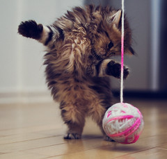 Kitten Pounce (torode) Tags: playing cute wool cat ball kitten yarn daisy roar hindlegs