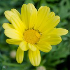 (C-Dals) Tags: flower yellow garden spring nikon waterdrop nikkor sh32 1855mmf3556gvr d5100
