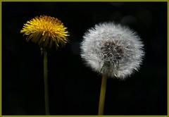 Double Dandelion (nondesigner59) Tags: flower clock nature yellow closeup flora dandelion seeds sunlit lowperspective eos50d nondesigner nd59 copyrightmmee
