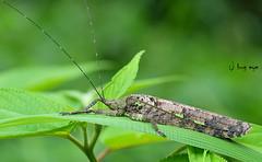 long-horned grasshoppers / Sathrophyllia sp. / ตั๊กแตนหนวดยาว (bug eye :) Thailand) Tags: nature macro closeup grasshopper chiangmai thailand