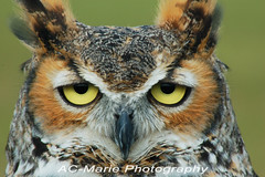 Horned Owl (ac-marie) Tags: owl owls hornedowl hornedowls freedomtosoarlevel4birdphotosonly freedomtosoarlevel5birdphotosonly freedomtosoarlevel5birdsonly freedomtosoarlevel4birdsonly freedomtosoarlevel6birdsonly