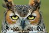 Horned Owl (ac-marie) Tags: owl owls hornedowl hornedowls freedomtosoarlevel4birdphotosonly freedomtosoarlevel5birdphotosonly freedomtosoarlevel4birdsonly freedomtosoarlevel5birdsonly freedomtosoarlevel6birdsonly bird animal outdoor